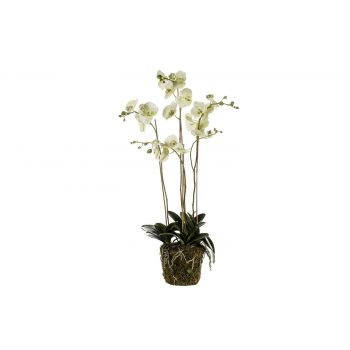 Cosy @ Home Phalaenopsis Plant With Moss Grun 105cm